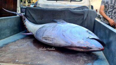 """صورة """"تم بيع الكيلو الواحد بسعر قياسي"""".. اصطياد سمكة تونة عملاقة في بانياس تزن أكثر من 100 كيلو (صور)"""